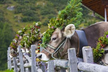 Festlich geschmückte Kühe beim Almabtrieb