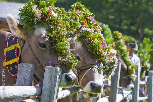 Keuken foto achterwand Koe Festlich geschmückte Kühe beim Almabtrieb