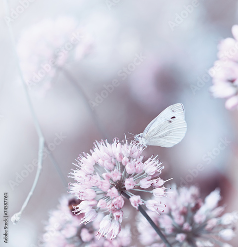 A butterfly on a flowering onion © B. and E.  Dudziński
