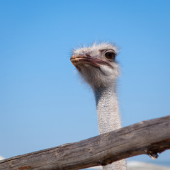 Close view of ostrich head