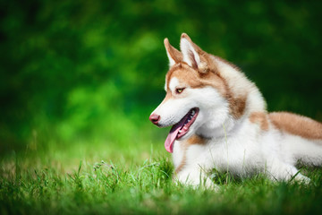Siberian husky lying on green grass