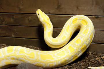Burmese python close up