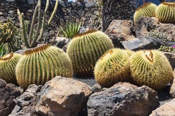 Goldkugelkaktus (Echinocactus Platyacanthus)