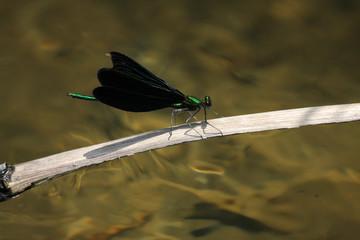 Calopteryx japonica damselfly