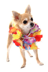 chihuahua and fashion