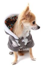 chihuahua and fashion