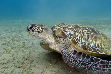 great sea turtle on the bottom of tropical sea