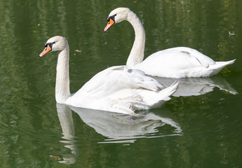 swan on the lake in the nature