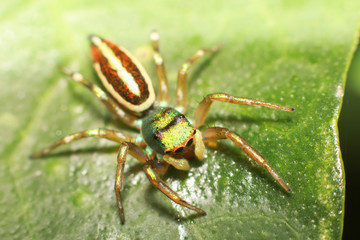 Jumping Spider is eating insect on green leaf