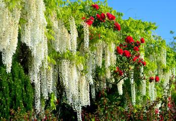 fleurs blanches et roses rouges
