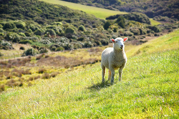 New Zealand Sheep and vibrant green Pastures