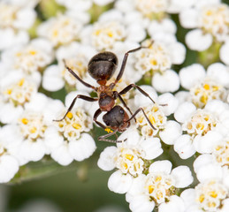 ant on a flower. close-up