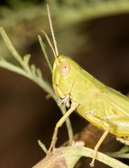 grasshopper in nature. close-up