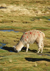 Alpaca grazing in the Altiplano