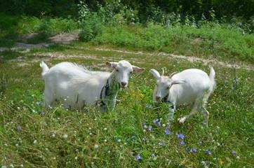 Две козы в траве