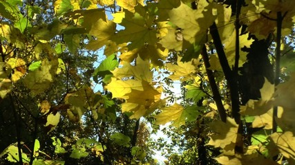 Yellow autumn leaves swaying in the wind