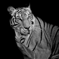 Black and White Tiger hungry