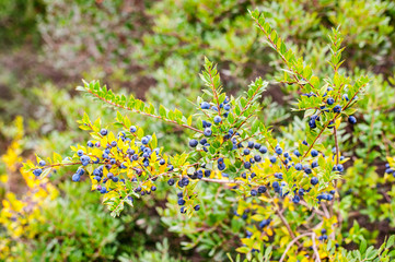 Sardinian myrtle with berries