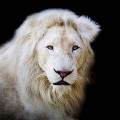 White africa lion