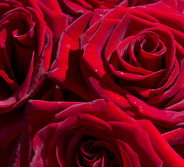 close-up background of blossoming red roses