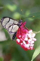 Glasswinged butterfly - Greta oto