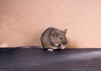 Common house mouse (Mus musculus) on a gray background
