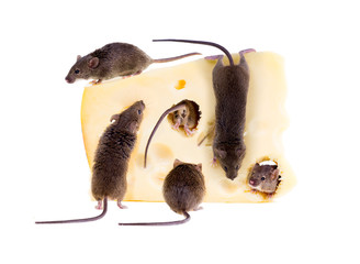 Feast of common house mouse (Mus musculus) on a large piece of c