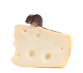 Common house mouse (Mus musculus) on a large piece of cheese. Is
