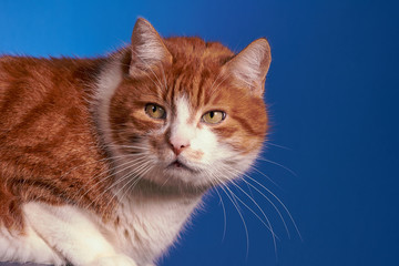 portrait of ginger European cat, Poland.