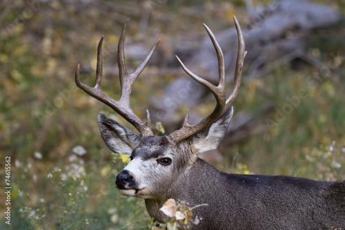 Poster Hert adult male mule deer