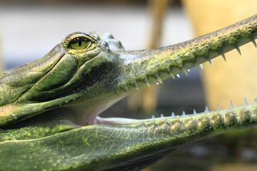 gavial detail (small aligator head)