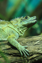 green lizard (small dragon)