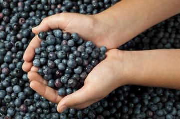 Little Girl's Hands Holding Fresh Blueberries