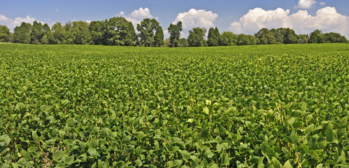 Mature Field of Soybeans