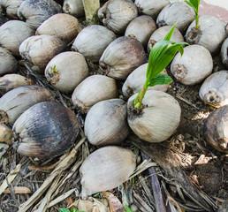 coconut seedlings prepare for planting