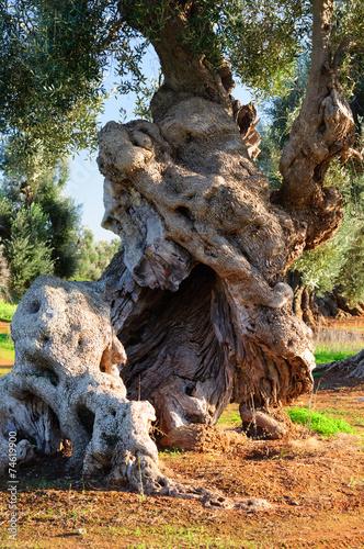 In de dag Olijfboom Puglia ulivo secolare