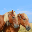 Heads of horses against a pasture