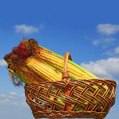 Corn ears in a basket