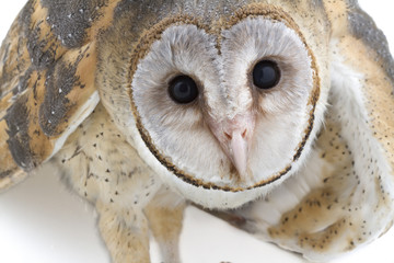 Indian Barn Owl