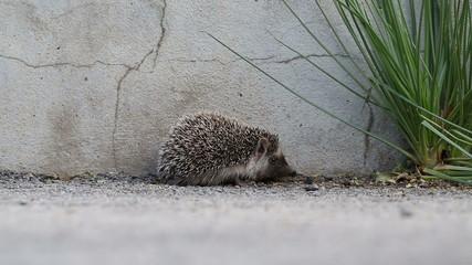 walking hedgehog baby