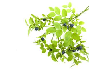 Blueberry branch