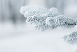 Fototapety winter background with frosty fir branches