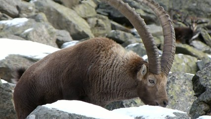 Stambecco che mangia la neve. Ibex