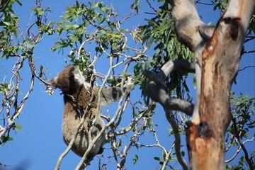 Fressender Koalabär - Australien