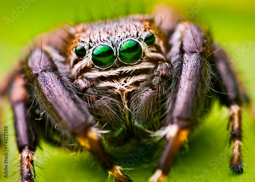 Green eyes of jumping spider - 74627386