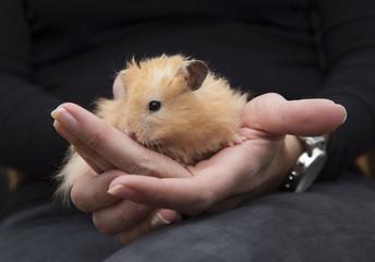 Hamster in Human Hands