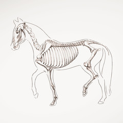 Vector Illustration of a Hand Drawn Horse Skeleton