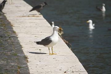 Gabbiano in riva al fiume