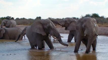 Elephant family bathing action in mud waterhole Botswana Africa