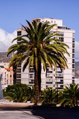 Canarian Palm Tree